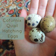 Linn Acres Farm: Quail Hatching Eggs!