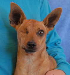 Hoagie needs a loving, forever home.  He is a sweet, handsome Miniature Pinscher, 7 years of age, neutered boy, debuting for adoption today at Nevada SPCA (www.nevadaspca.org).  Hoagie reportedly lost his right eye when attacked by another dog years ago.  He gets along well with other dogs and reportedly knows how to use a doggie door.  Hoagie needed us when his previous owners moved to an apartment that limited their family to just one dog.  Please help us find him someone caring and…
