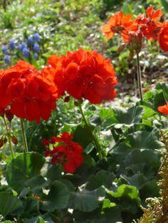My Geraniums                                                                                                                                                                                 More