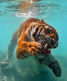 Did you know that tigers are one of the only big cats that like to swim? Much like humans gather at the pool during hot weather, so do tiger. Animals And Pets, Baby Animals, Funny Animals, Cute Animals, Wild Animals, Nature Animals, Savage Animals, Fierce Animals, Wildlife Nature