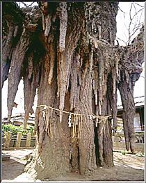Looks like icicles or stalactites. Honshu, Japan, 1000 years old This ancient Ginkgo Tree is worshiped as a god. A shimenawa (rice string) is bound to the huge trunk. Trees And Shrubs, Trees To Plant, Giant Tree, Unique Trees, Old Trees, Tree Trunks, Nature Tree, Tree Forest, Tree Art