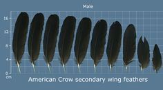 The Feather Atlas - Feather Identification and Scans - U. Fish and Wildlife Service Forensics Laboratory Raven Feather, Feather Art, Black Feathers, Bird Feathers, Black Feather Meaning, Crow Meaning, Flight Feathers, American Crow, Bird Wings