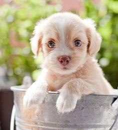 Cavalier King Charles Spaniel Puppy Dog #CKCS