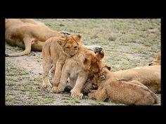 Stunning Lion sightings - Compilation - seen in Kruger National Park, So...
