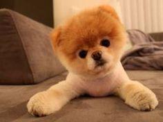 Boo - O cachorro considerado o mais bonito do Mundo, e o mais caro por sua beleza... Mas, eu quero um! Argh' :@