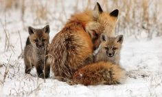 Foxes are special animals, they mate for life and the male and female respect each other for the unique qualities each brings to the family.  They return year after year to raise kits in the same den.