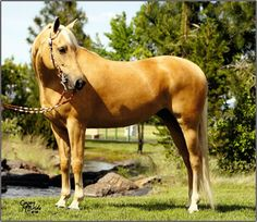 Hunter/Western | Celebrity Morgans | Shallow Creek's Anna