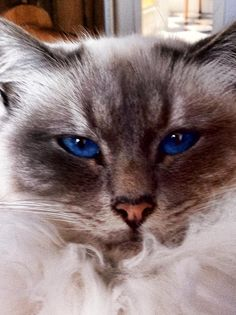 Beau Bleu Eyes. Heilige Birmaan.
