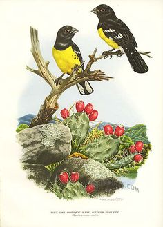 Antique print: picture of King of the Forest or Little Golden Bill (Pheuticus aureo-ventri) -
