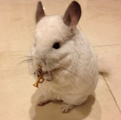 On the weekends, BuBu likes to play the trumpet for her friends and family. | This Is The Most Important Chinchilla On Instagram Right Now