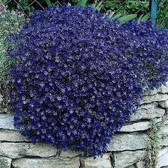 Rockcress Cascading Blue Flower Seeds