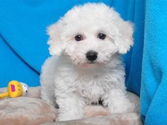 BICHON FRISE male