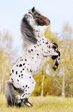 A Friesian/Appaloosa crossbreed. This beatiful beyond words! My favorite two horses are Friesians and Appaloosas!
