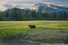 Grizzly Bear, Lake Clark National Park, Alaska