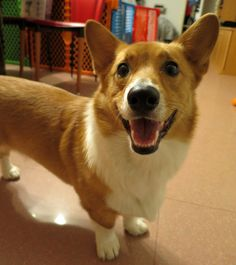 wafflethecorgi:  my happy bby