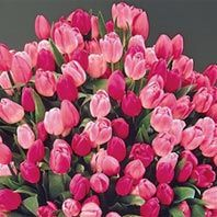 Apple Blossom Tulip  Mixture     50 Bulbs $22