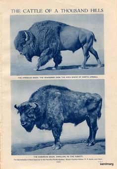 Vintage Home Home on the Range American and European Bison Gayal Wild English Bull Gaur of Asia Beautiful Creatures, Animals Beautiful, European Bison, Buffalo Animal, American Bison, Garden Animals, Majestic Animals, Mundo Animal, Le Far West