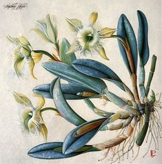 Rhyncholaelia digbyana, type of orchid, botanical print by Luca Palermo… Vegetable Illustration, Nature Illustration, Floral Illustrations, Watercolor Illustration, Vintage Botanical Prints, Botanical Drawings, Botanical Flowers, Botanical Art, Orchid Drawing