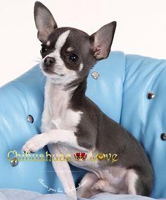 Chihuahuas Love - ¿Anuncios de Chihuahuas ó Chihuahuas de Anuncio?