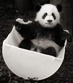 Mei Playing in a bucket shot 3 | Panda smile! | A Pandographer (Cassie) | Flickr