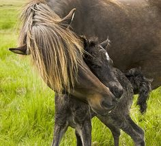 A mare cuddles her new foal close to her. Photo by Berglind Karlsdóttir