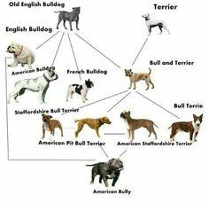 Tri American bully breeding chart American bullies