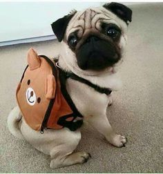 "pugs: ""summer school. """