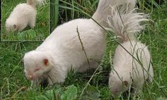 Rare albino skunk becomes father to an all-white baby at Scottish zoo
