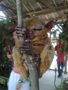 Tarsier  ~Bohol, Philippines~