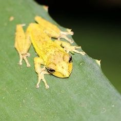 SAVE ME! www.savethefrogs.com/brazil  #beautiful #yellow #frogs #ololygon #hangon #minasgerais #brazil #brasil #amphibian #rã #frog #sapos #natureza #naturaleza #natural #wildlife #animals #tropics #montane Photo by SAVE THE FROGS! Founder @kerrykriger