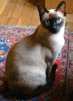 Thought to be descended from the sacred temple cats of Thailand, it is a little wonder the Siamese Cats appear so regal & mysterious.  Oh those blue eyes.  They cry like babies too.