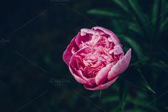 Peony by michalkulesza on Creative Market #peony #flower #pink