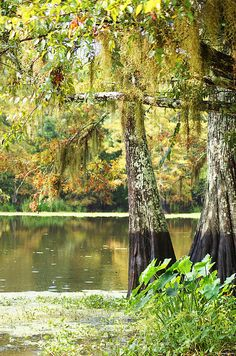 Cypress and moss at Old River, Bordelonville, Louisiana.