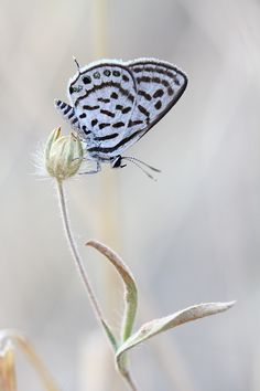"""I am still in awe the """"art"""" of bokeh and macro photography how you can see every marking of this tiny butterfly on this even tinier flower.."""