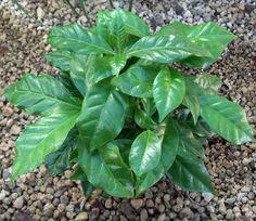 FOGLIE DEL CAFFE | Piante da vaso: Coffea arabica, Pianta del Caffe', Coffea ...