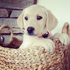 Puppy yellow lab