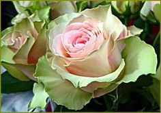Green/pink roses