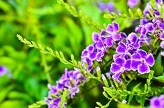 Duranta is a Tropical Butterfly plant that monarchs love AND can be grown as an annual. #purple_butterfly_flower