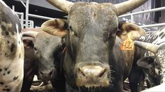 High Horn and the rest of the bulls are ready for #PBRBismarck.  Are you? pic.twitter.com/n8xeMTN7RU