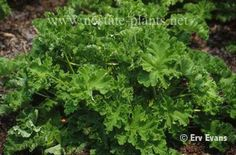 Pelargonium spp., Scented geranium. Use Leaves. Dry for lotions, oils, waters & softeners. Culinary in fruits & jellies. Also use in candles, perfumes, soaps & potpourri...an aromatic.