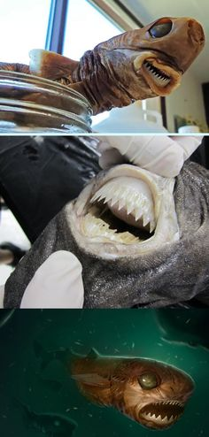 COOKIE CUTTER SHARK  - 6 bizarre sharks living in the very deep ocean