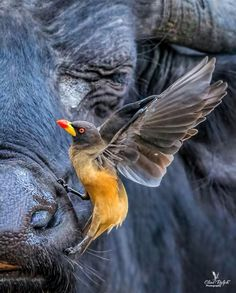Yellow-billed ox-pecker and the African Buffalo. Photo by Clint Ralph. Wild Photography, Wildlife Photography, South African Birds, African Buffalo, List Of Birds, African Colors, Melbourne Art, Art Competitions, Kruger National Park