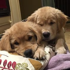 Too pooped to pup! Golden retriever puppies snuggling