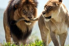 """* * LION: """" Don'ts walk aways from meez;"""" LIONESS: """" As far as I iz concerned, yer done. Animals And Pets, Funny Animals, Cute Animals, Exotic Animals, Nature Animals, Wild Animals, Beautiful Cats, Animals Beautiful, Female Lion"""