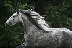 Yeguada Herrera Caballos Espanoles Caballos Bailadores Andalusian Lusitano Lippizzaner spanish horse Piccador Vaquero Charro