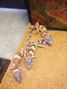 Leopard Geckos (Babies-Adults)