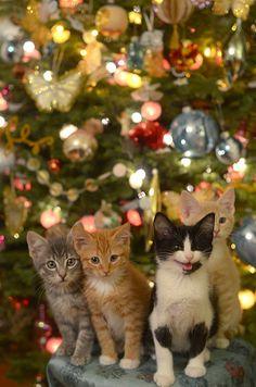 Christmas cats for a christmas card christmas kitty, cats in christmas trees, christmas Pretty Cats, Beautiful Cats, Animals Beautiful, Christmas Kitten, Christmas Animals, 1st Christmas, Christmas Morning, Funny Christmas, Christmas Nativity Scene