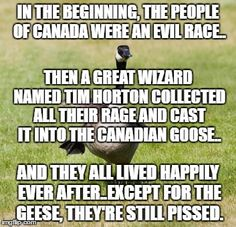 This is so true! Canadian Geese are evil evil beings in ontario toronto and around the country Canadian Facts, Canadian Memes, Canadian Things, Canadian Humour, Canada Jokes, Canada Funny, Canada Eh, Canadian Stereotypes, Stupid Funny