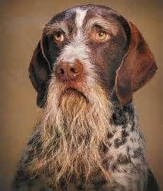 Familia Basset Hound: Os cães que ficam velhinhos podem ficar ranzinzas ...