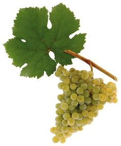 A picture shows grapes of the grape variety Grüner Veltliner - article within